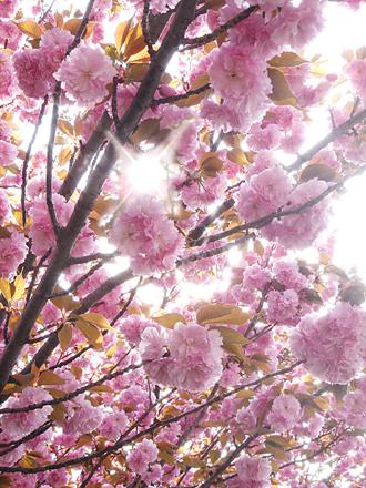 2012八重桜.jpg