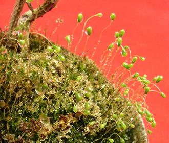 アイビー盆栽2.jpg