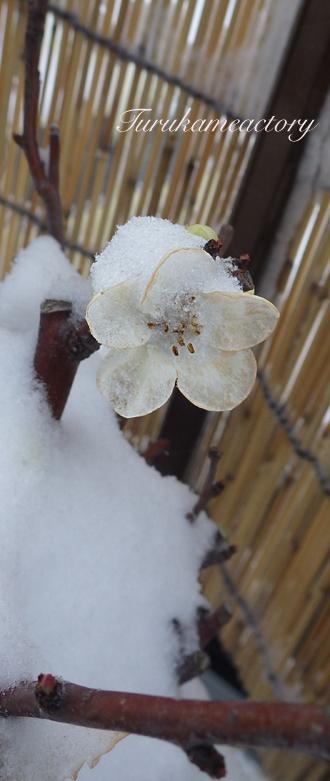 雪小町.jpg