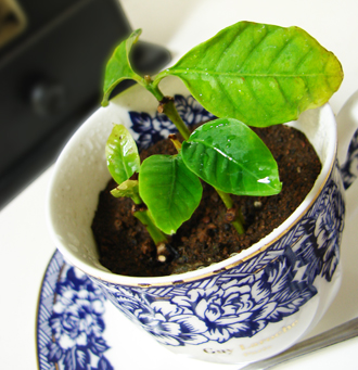 コーヒーの木2.jpg